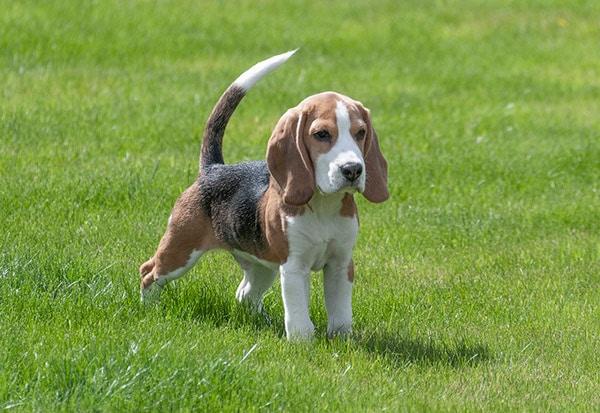 beagle de guante