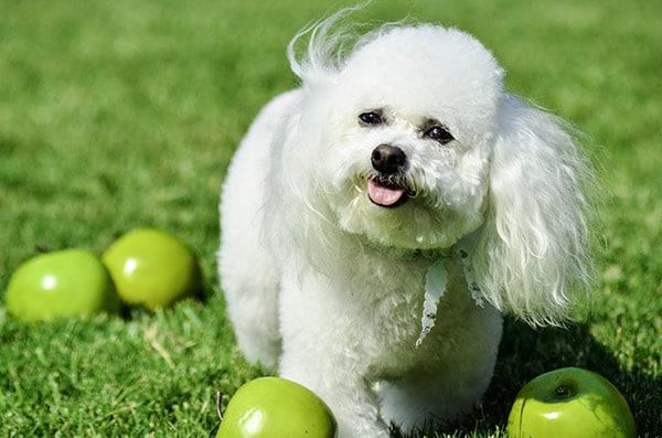 bichon frise perro aristocracia