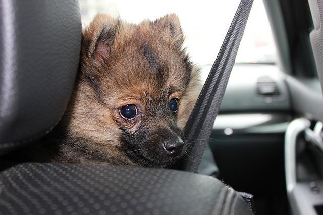 como atar al perro en el coche