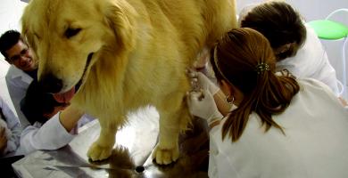 Dilatación-Torsión del Estómago en los Perros