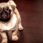 alimentación de perros pequeños