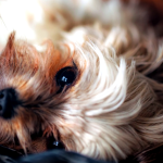 Cómo limpiar los ojos a un perro