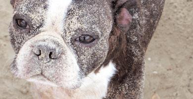 Porqué los perros comen caca y cómo detenerlos
